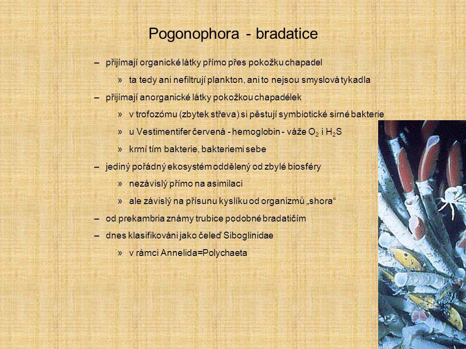 Pogonophora - bradatice
