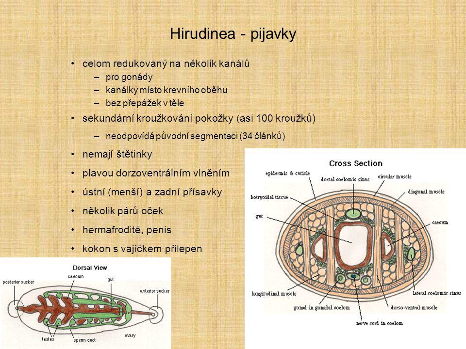 Hirudinea - pijavky celom redukovaný na několik kanálů