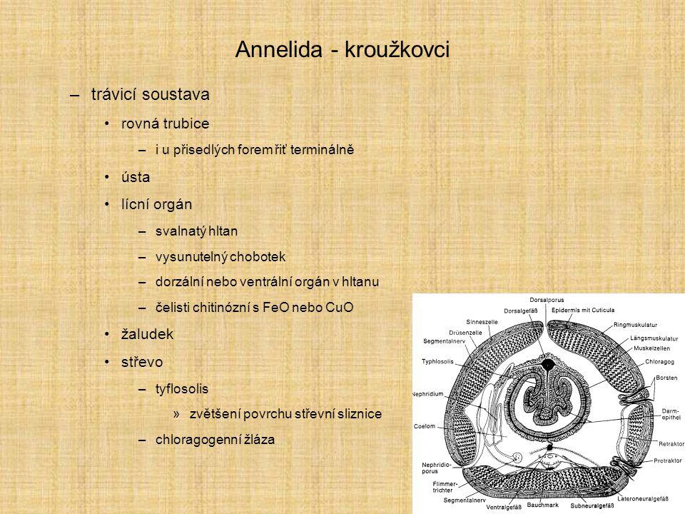 Annelida - kroužkovci trávicí soustava rovná trubice ústa lícní orgán