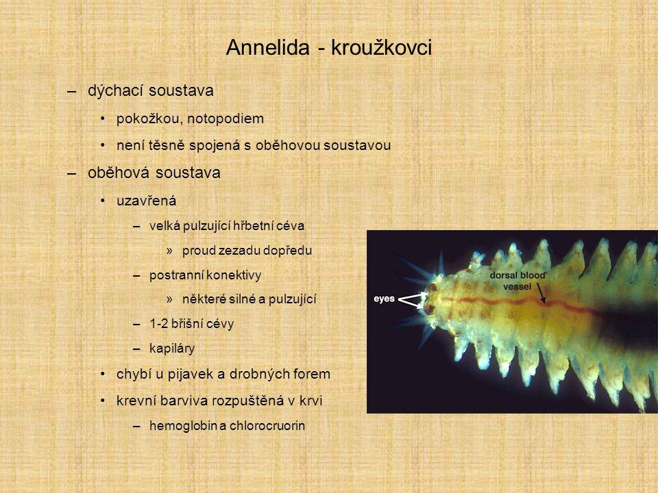 Annelida - kroužkovci dýchací soustava oběhová soustava