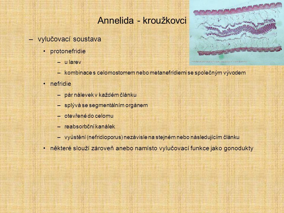 Annelida - kroužkovci vylučovací soustava protonefridie nefridie