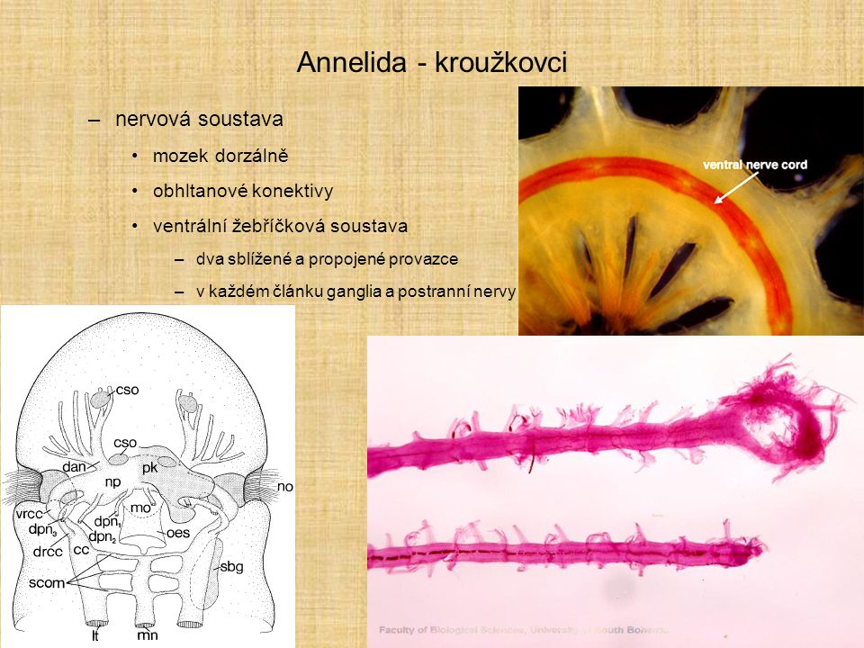 Annelida - kroužkovci nervová soustava mozek dorzálně