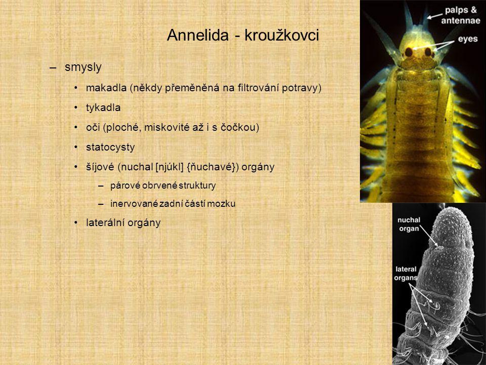 Annelida - kroužkovci smysly