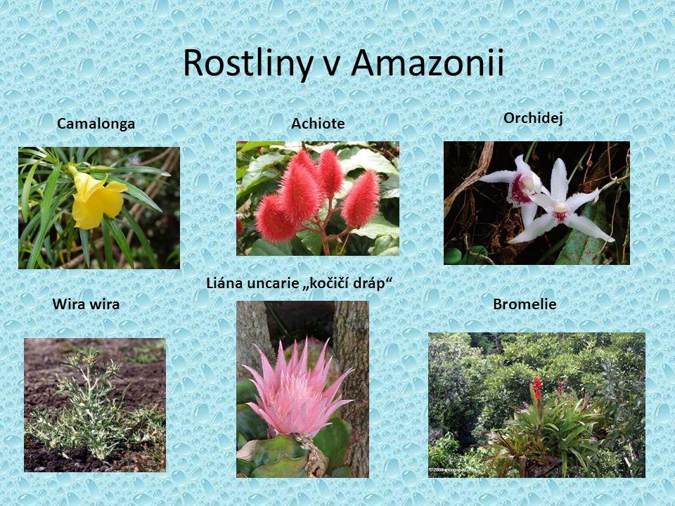 Rostliny v Amazonii Orchidej Camalonga Achiote
