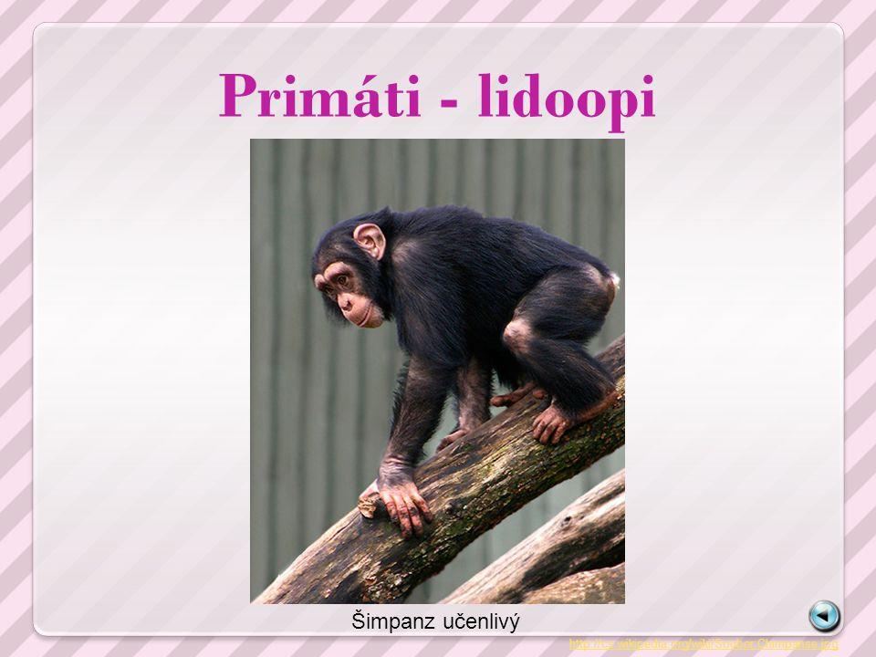 Primáti - lidoopi Šimpanz učenlivý
