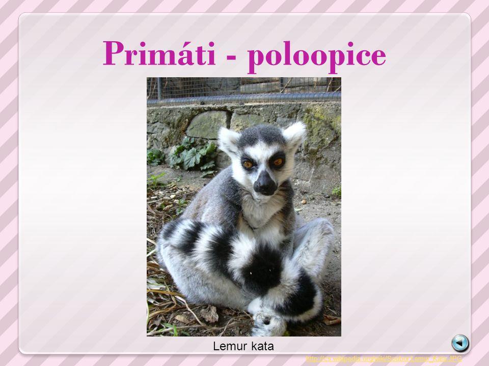 Primáti - poloopice Lemur kata