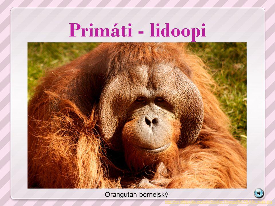 Primáti - lidoopi Orangutan bornejský