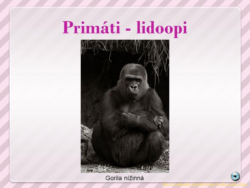 Primáti - lidoopi Gorila nížinná