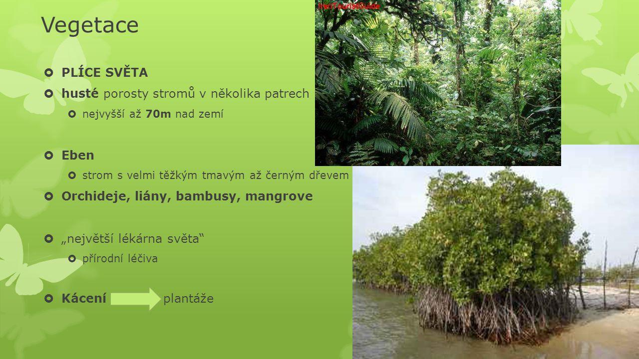 Vegetace PLÍCE SVĚTA husté porosty stromů v několika patrech Eben