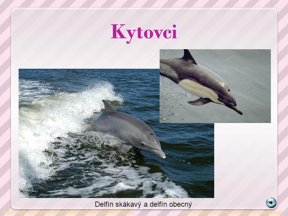 Kytovci Delfín skákavý a delfín obecný
