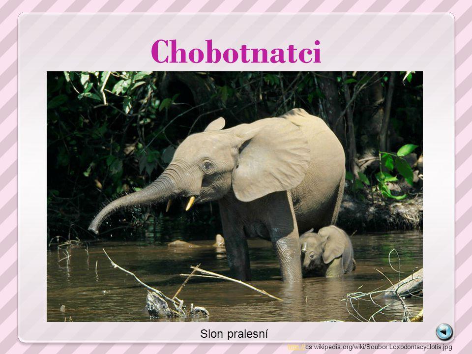 Chobotnatci Slon pralesní