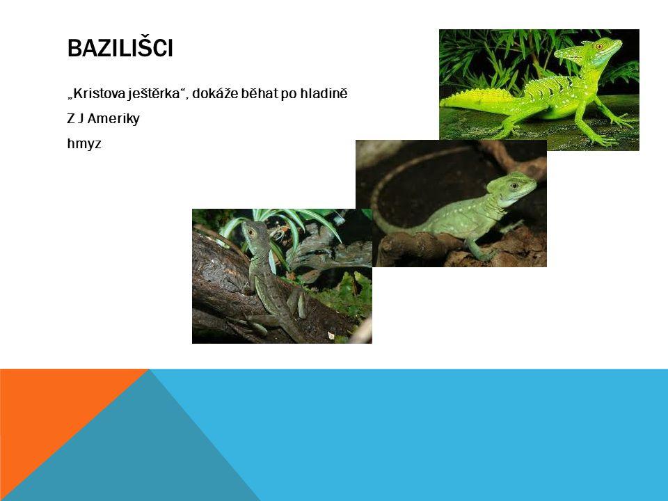 """Bazilišci """"Kristova ještěrka , dokáže běhat po hladině Z J Ameriky hmyz"""