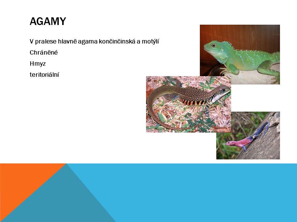Agamy V pralese hlavně agama končinčinská a motýlí Chráněné Hmyz teritoriální