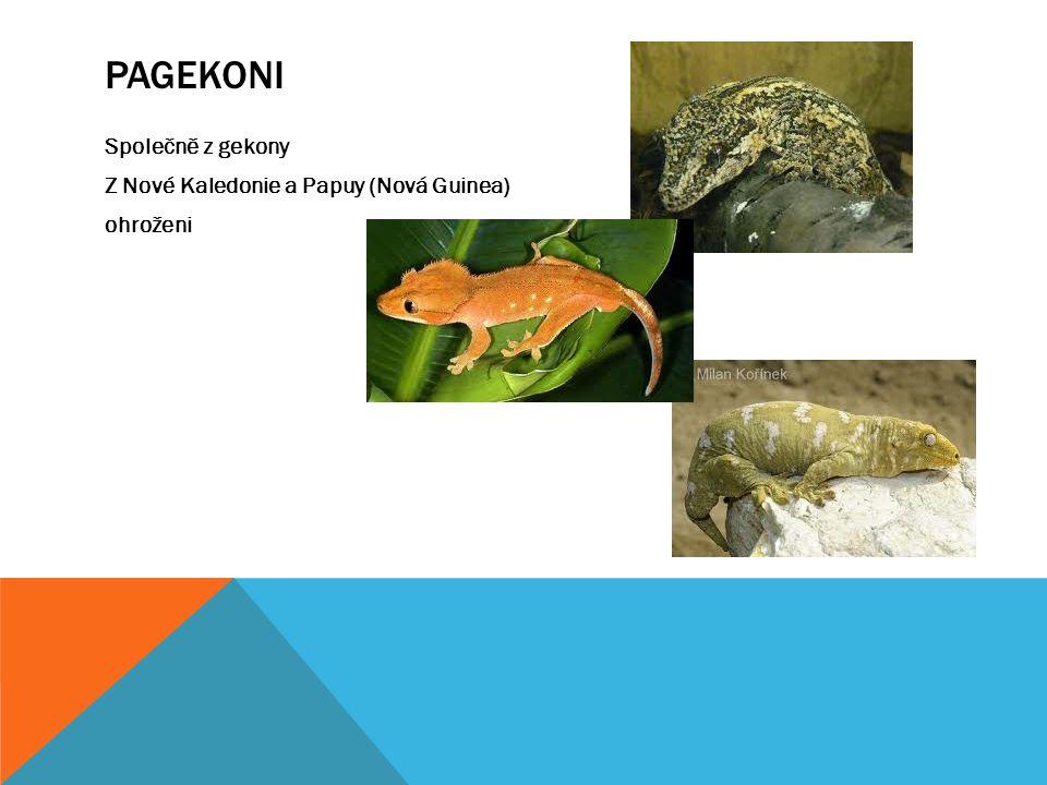 Pagekoni Společně z gekony Z Nové Kaledonie a Papuy (Nová Guinea) ohroženi