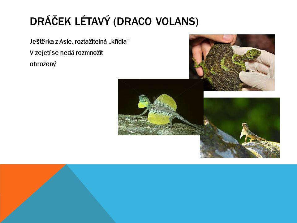 Dráček létavý (draco volans)