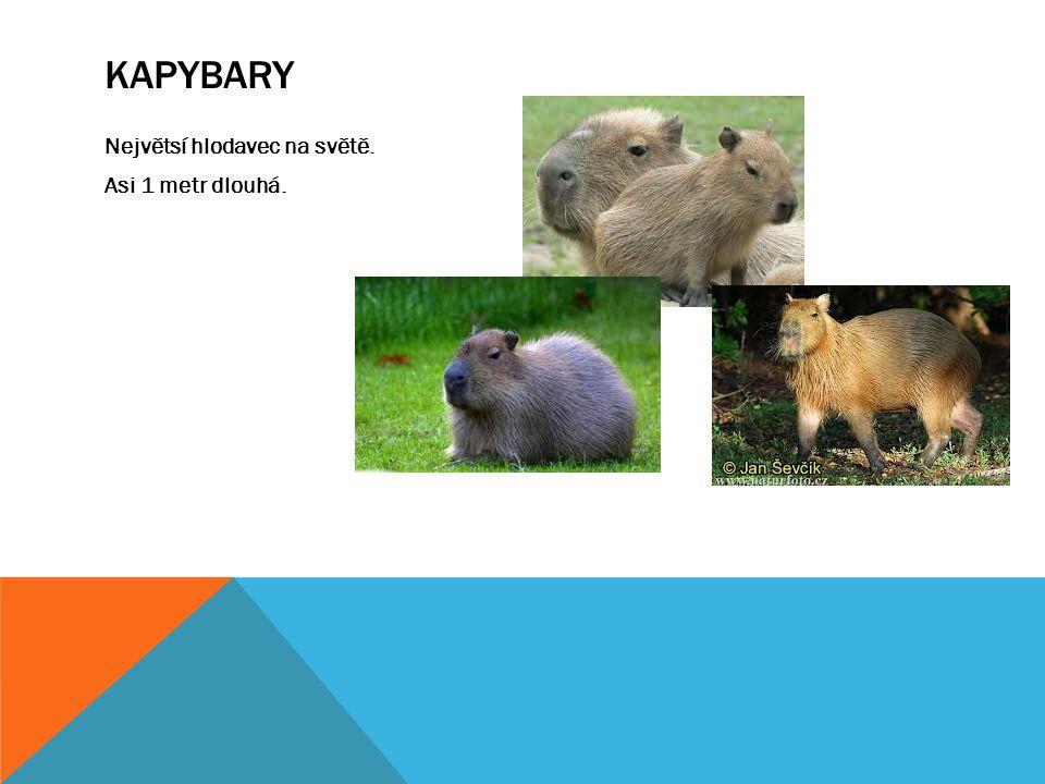 Kapybary Největsí hlodavec na světě. Asi 1 metr dlouhá.