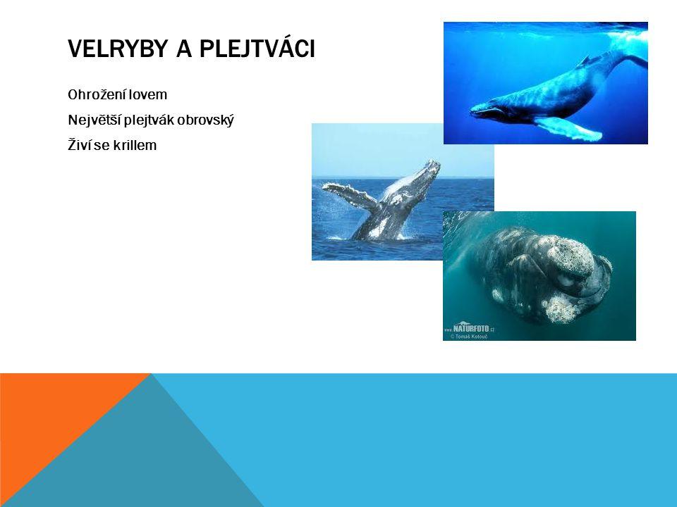 Velryby a plejtváci Ohrožení lovem Největší plejtvák obrovský Živí se krillem