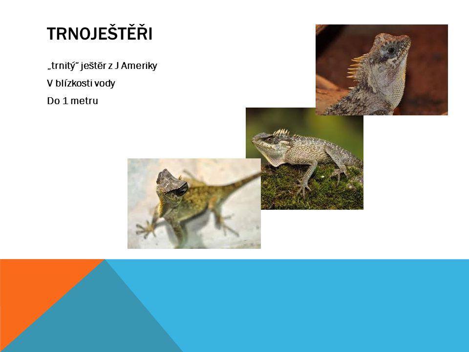 """Trnoještěři """"trnitý ještěr z J Ameriky V blízkosti vody Do 1 metru"""