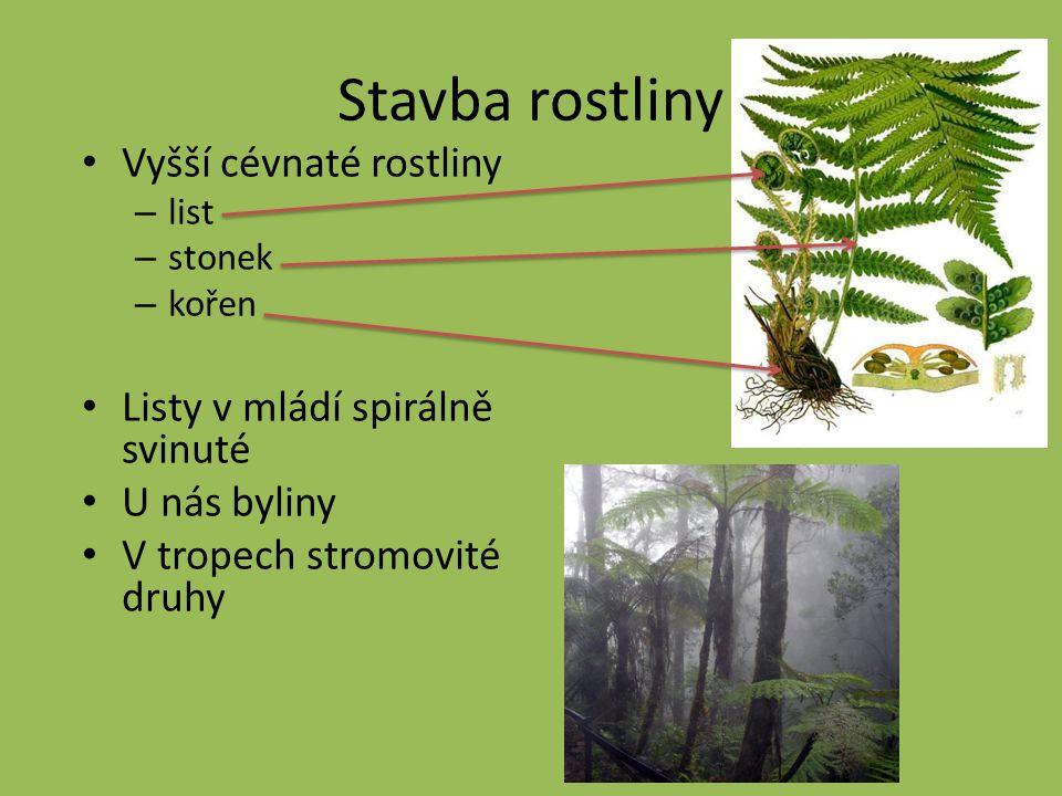 Stavba rostliny Vyšší cévnaté rostliny Listy v mládí spirálně svinuté