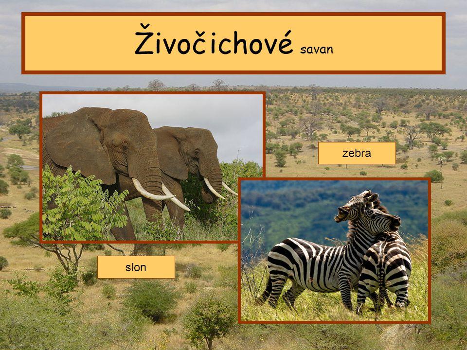Živočichové savan zebra slon Tropický pás