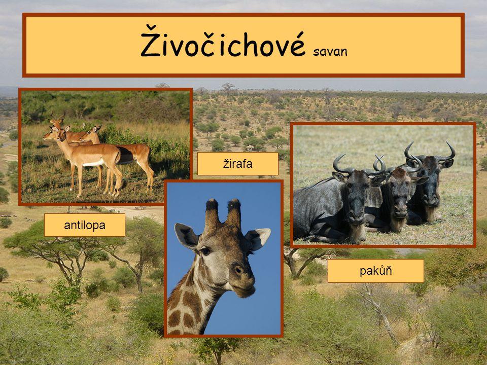 Živočichové savan žirafa antilopa pakůň Tropický pás