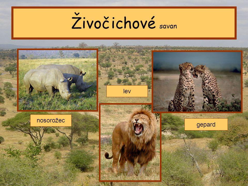 Živočichové savan lev nosorožec gepard Tropický pás