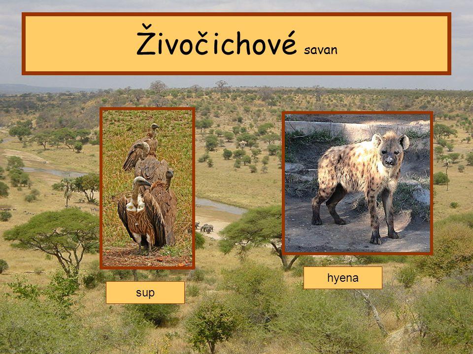 Živočichové savan hyena sup Tropický pás