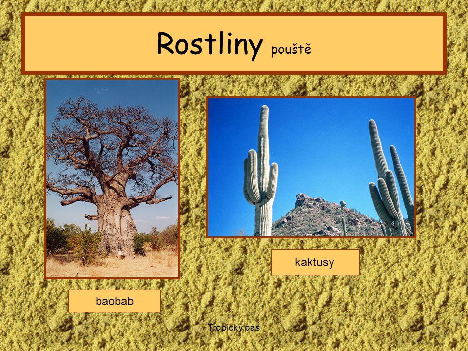 Rostliny pouště kaktusy baobab Tropický pás
