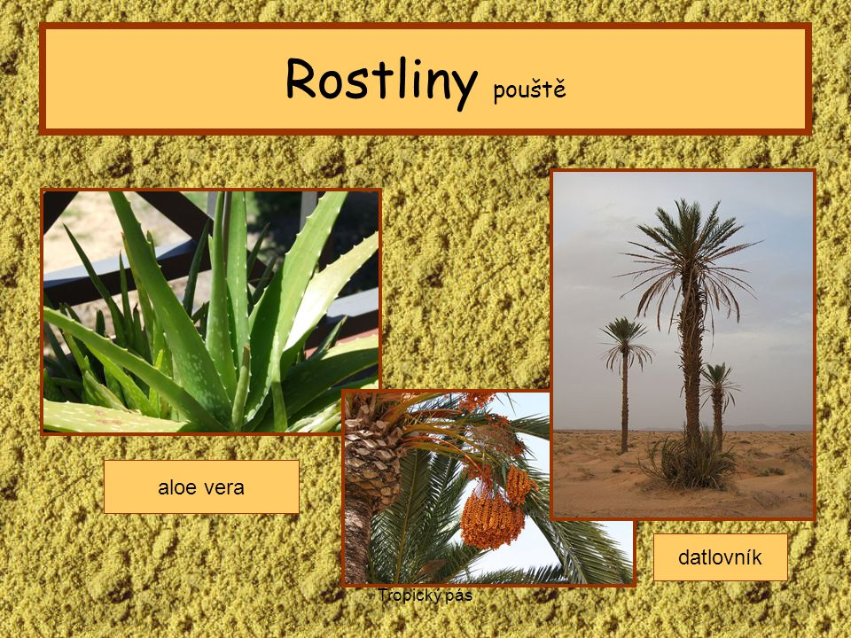 Rostliny pouště aloe vera datlovník Tropický pás
