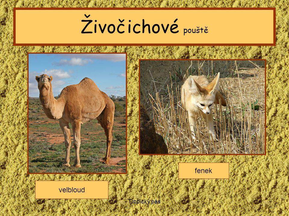 Živočichové pouště fenek velbloud Tropický pás