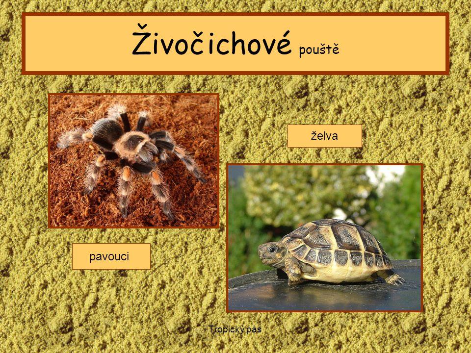 Živočichové pouště želva pavouci Tropický pás