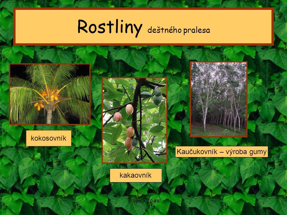 Rostliny deštného pralesa