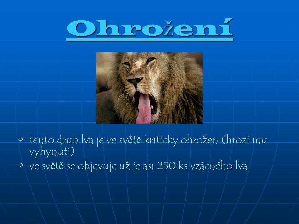 Ohrožení tento druh lva je ve světě kriticky ohrožen (hrozí mu vyhynutí) ve světě se objevuje už je asi 250 ks vzácného lva.