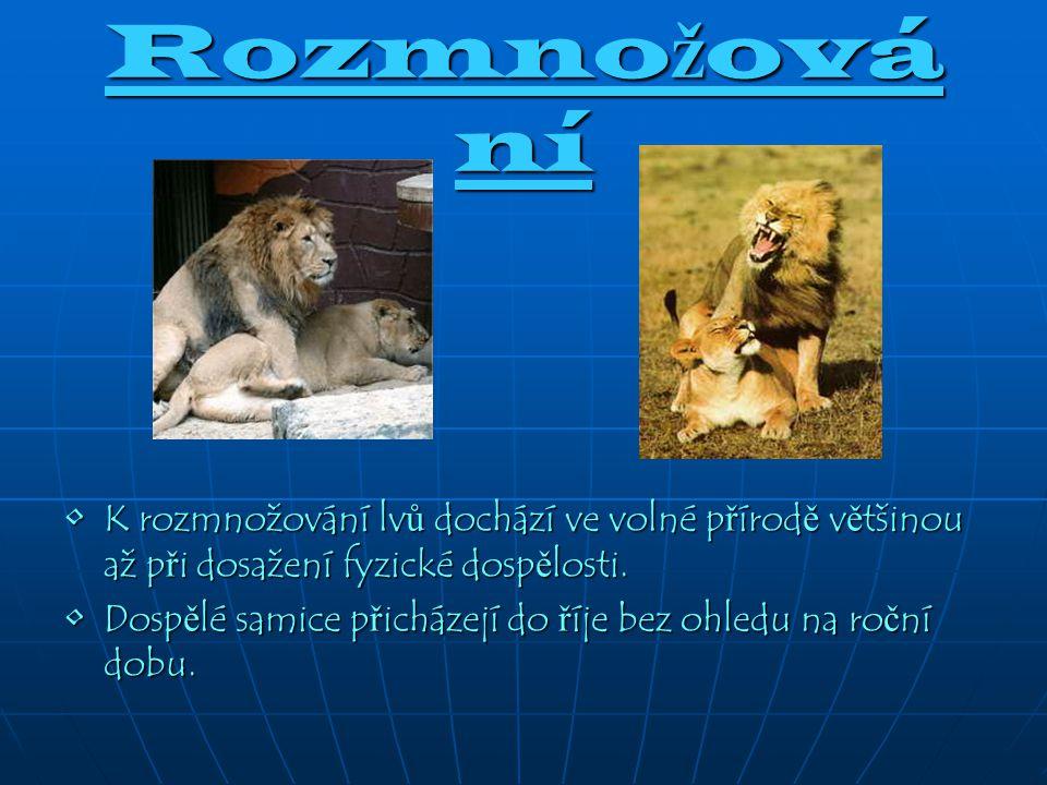 Rozmnožování K rozmnožování lvů dochází ve volné přírodě většinou až při dosažení fyzické dospělosti.