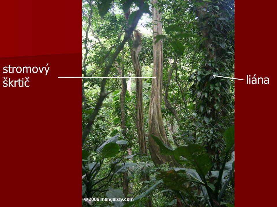 stromový škrtič liána