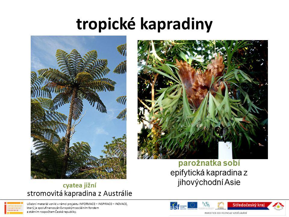 tropické kapradiny parožnatka sobí