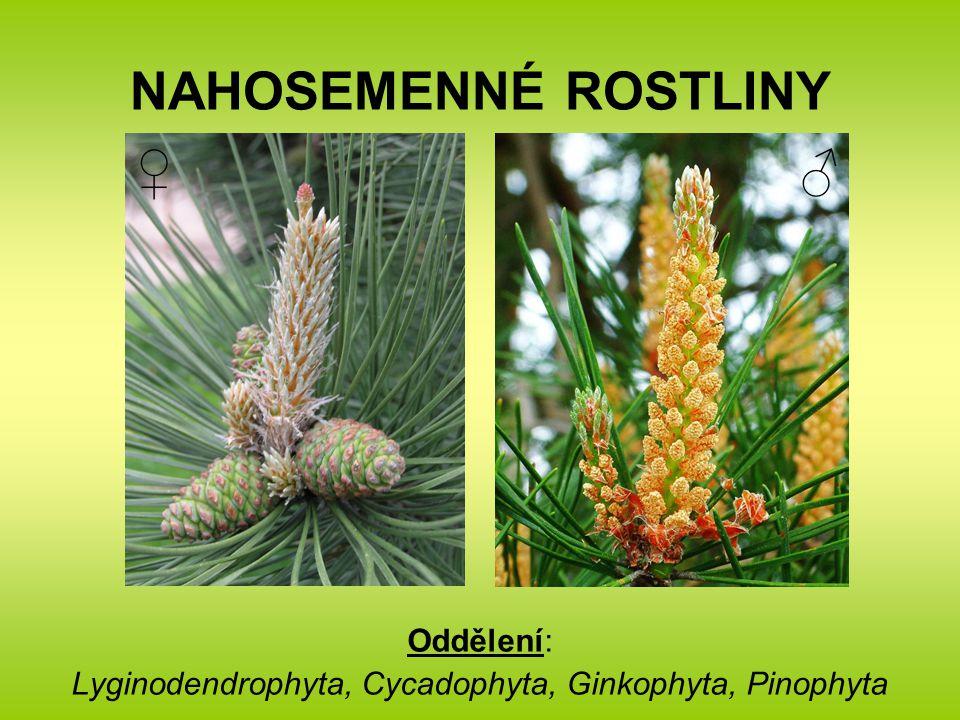 Oddělení: Lyginodendrophyta, Cycadophyta, Ginkophyta, Pinophyta