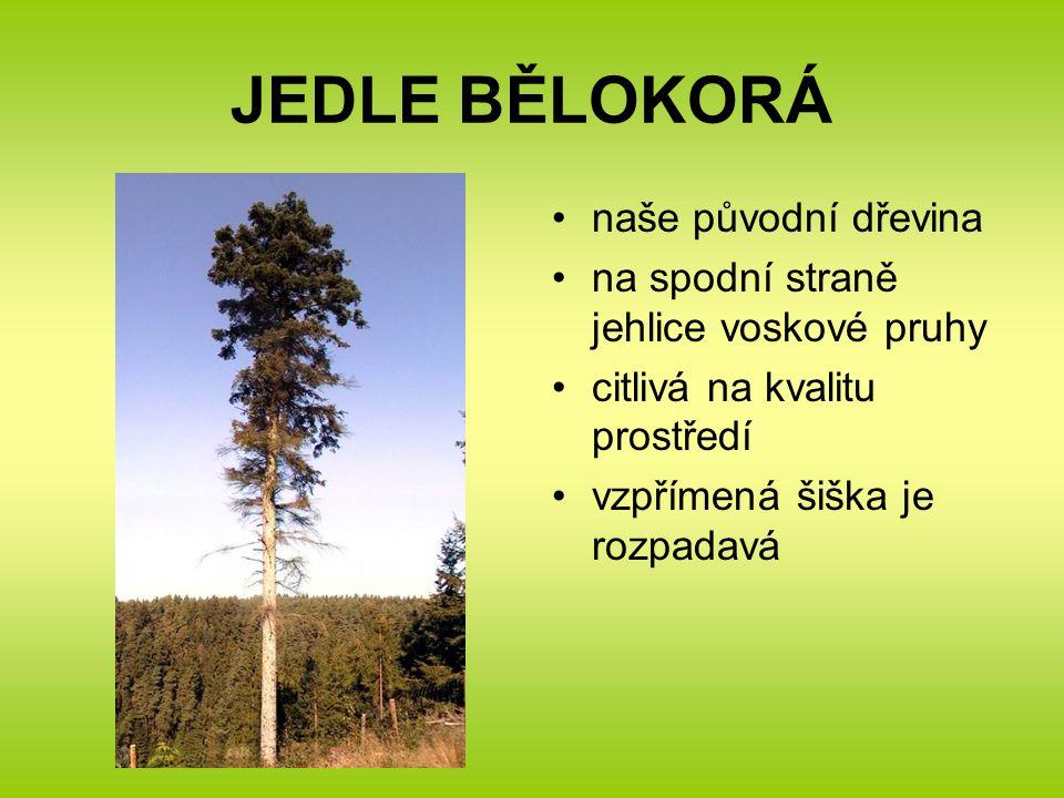 JEDLE BĚLOKORÁ naše původní dřevina