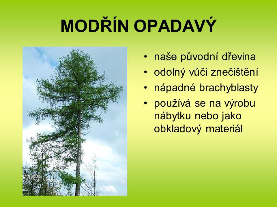 MODŘÍN OPADAVÝ naše původní dřevina odolný vůči znečištění