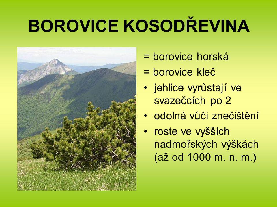 BOROVICE KOSODŘEVINA = borovice horská = borovice kleč