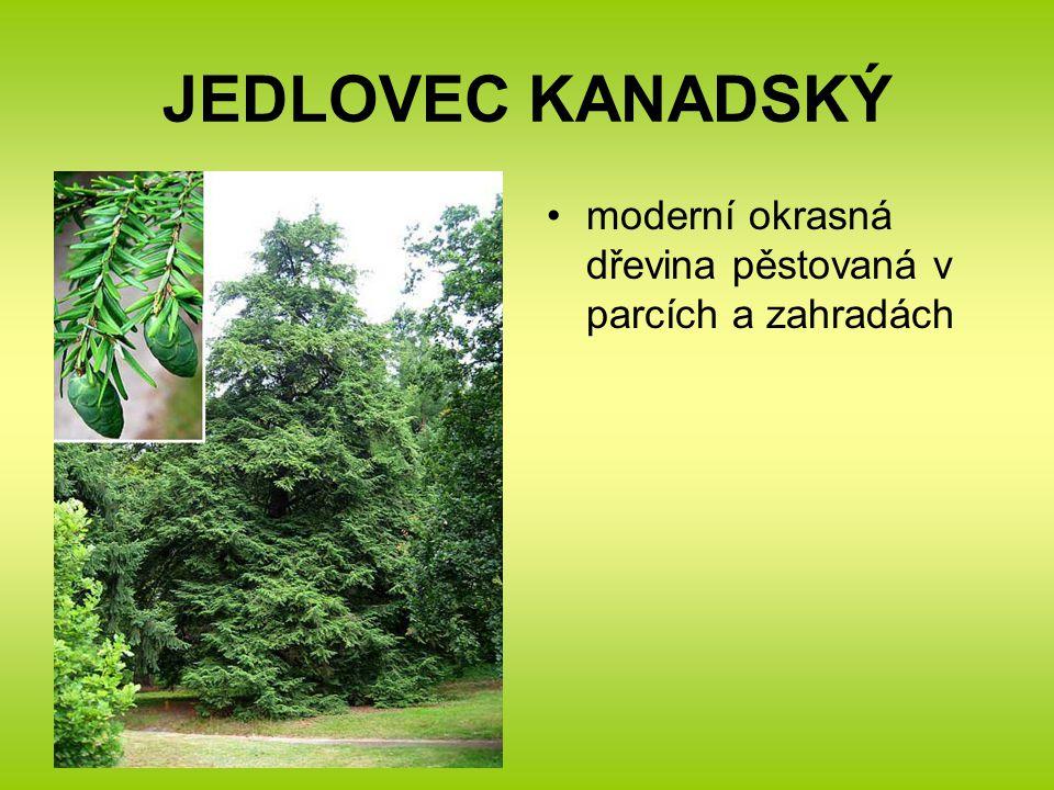 JEDLOVEC KANADSKÝ moderní okrasná dřevina pěstovaná v parcích a zahradách
