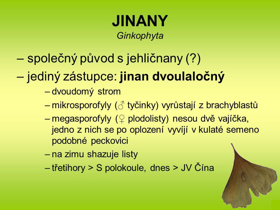 JINANY Ginkophyta společný původ s jehličnany ( )