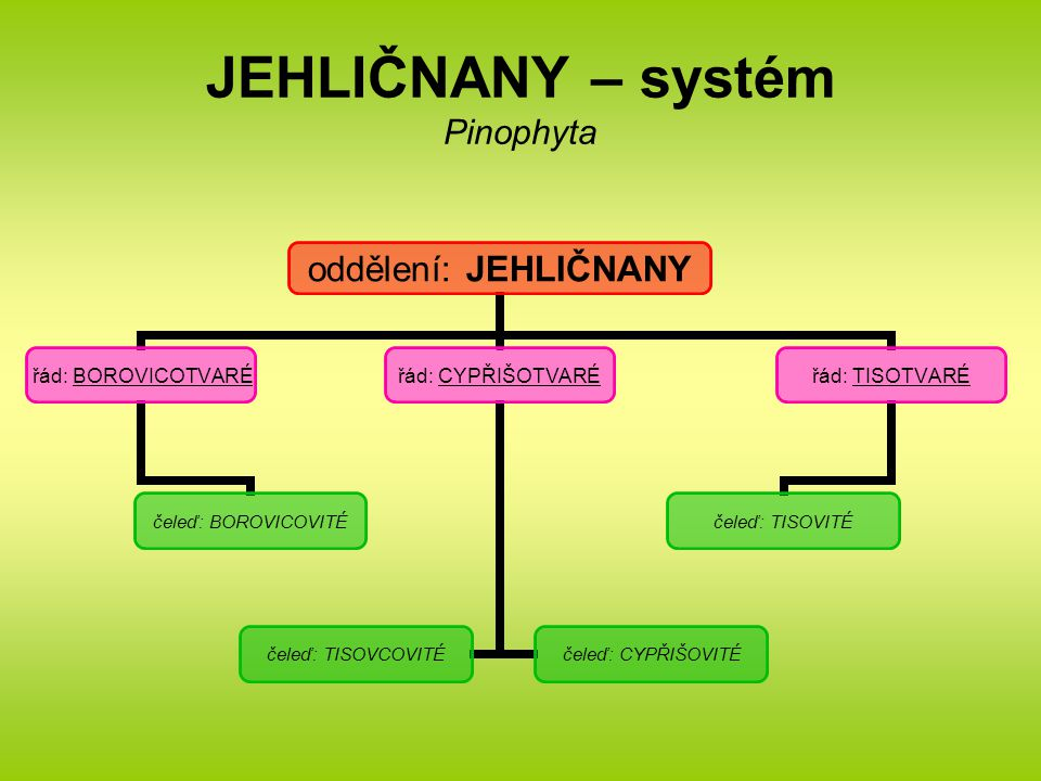 JEHLIČNANY – systém Pinophyta