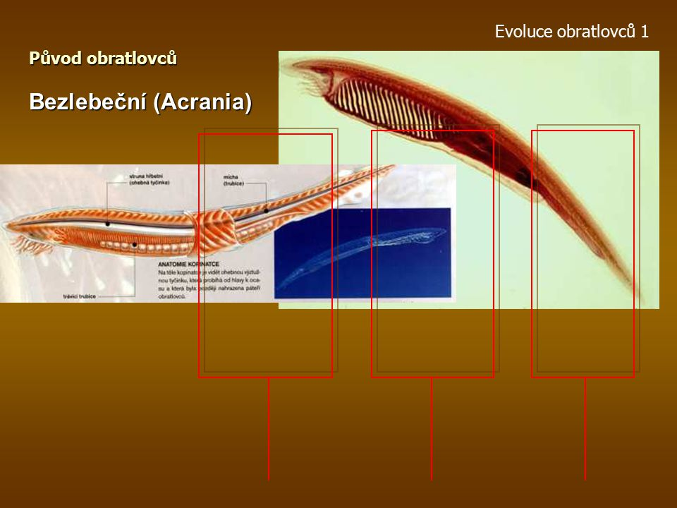 Evoluce obratlovců 1 Původ obratlovců Bezlebeční (Acrania)