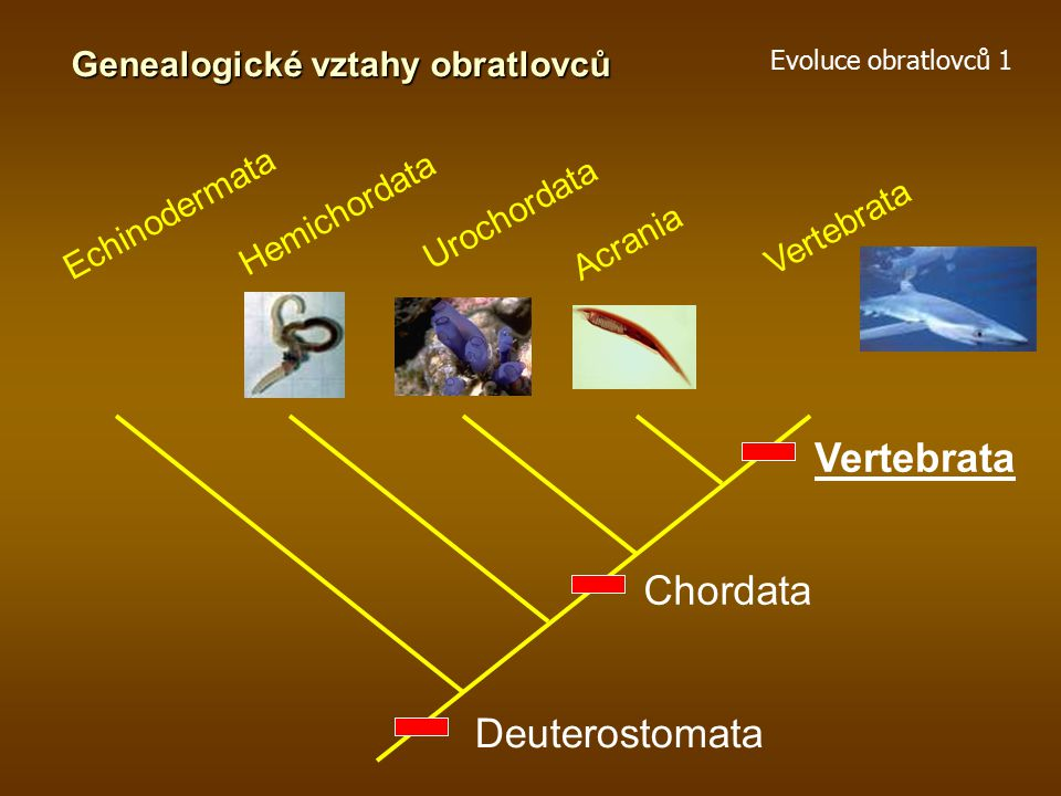 Vertebrata Chordata Deuterostomata Genealogické vztahy obratlovců