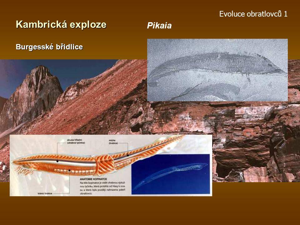 Evoluce obratlovců 1 Kambrická exploze Burgesské břidlice Pikaia