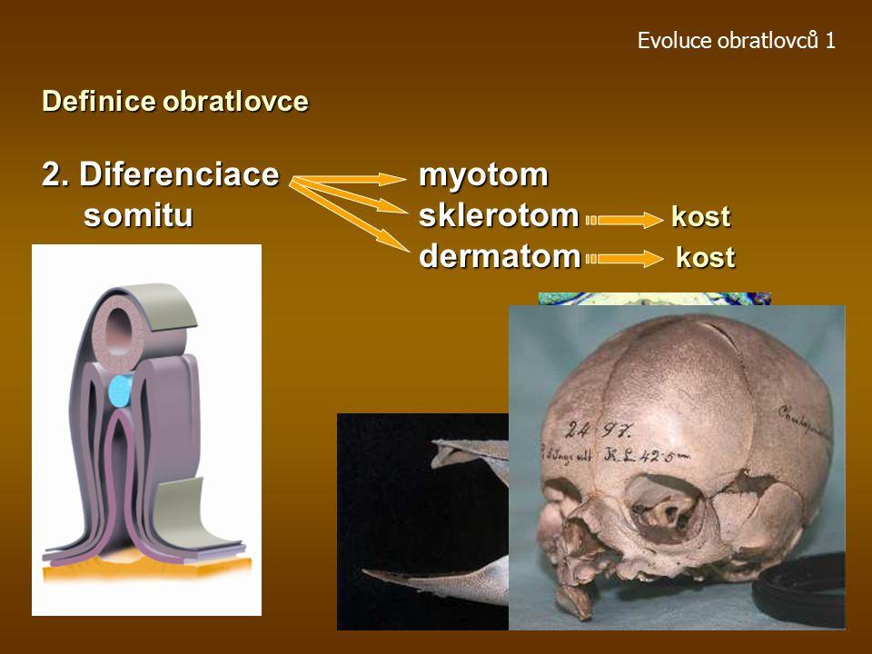 2. Diferenciace myotom somitu sklerotom kost dermatom kost