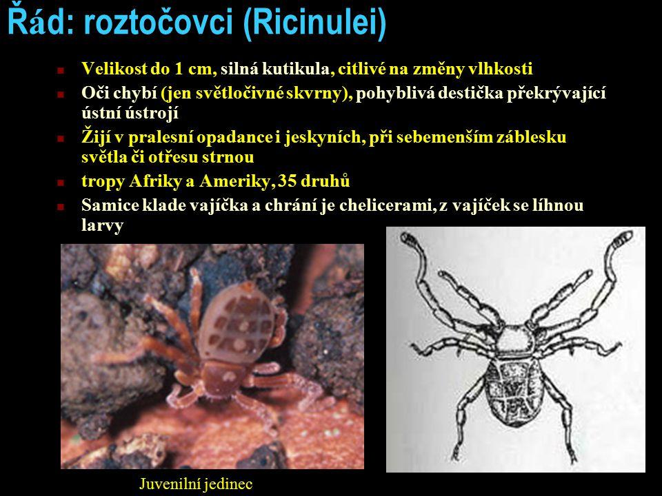 Řád: roztočovci (Ricinulei)