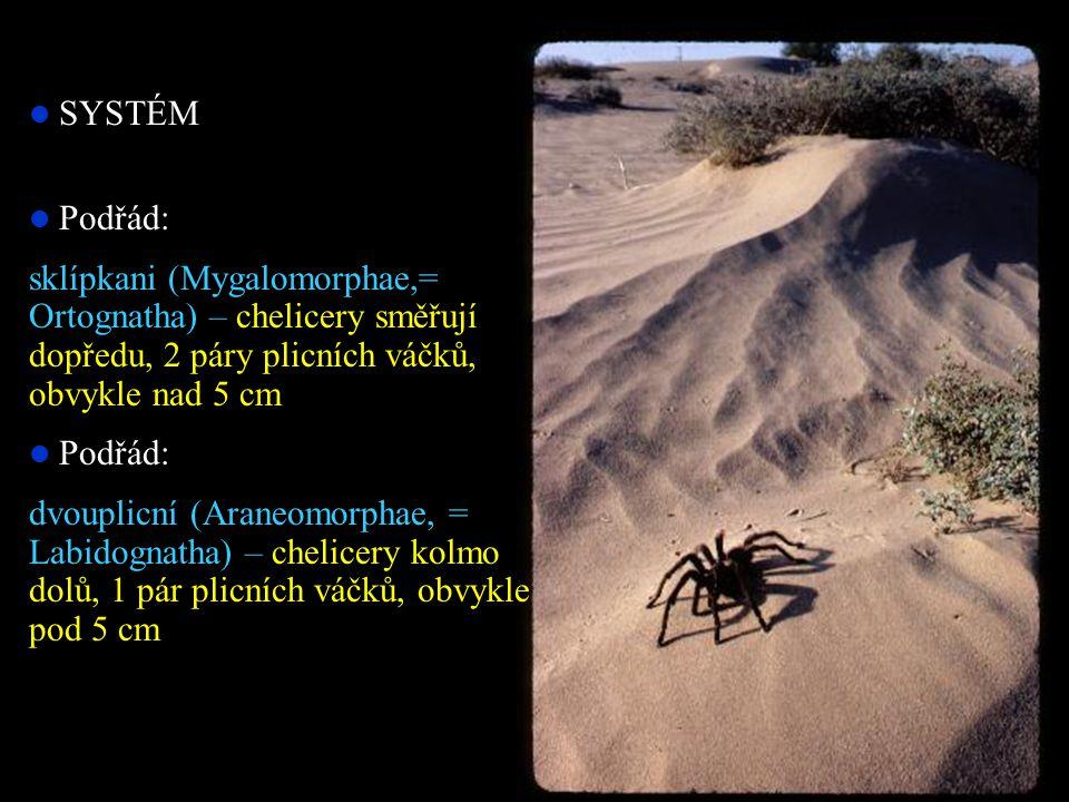SYSTÉM Podřád: sklípkani (Mygalomorphae,= Ortognatha) – chelicery směřují dopředu, 2 páry plicních váčků, obvykle nad 5 cm.