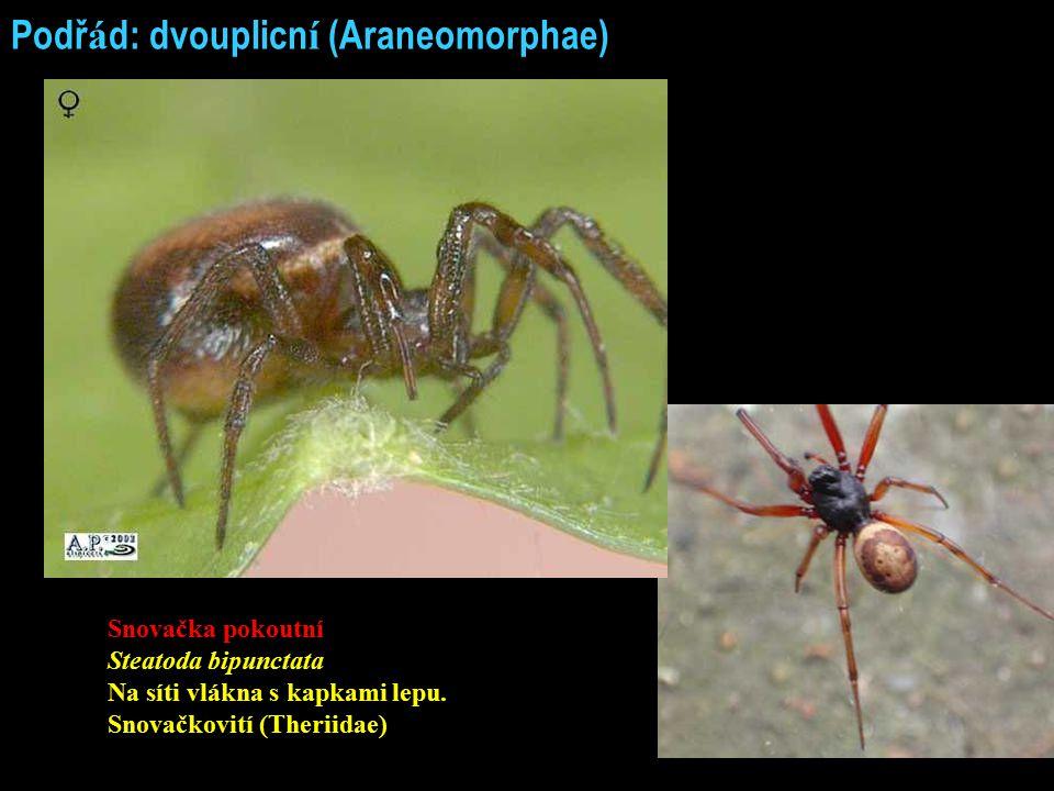 Podřád: dvouplicní (Araneomorphae)